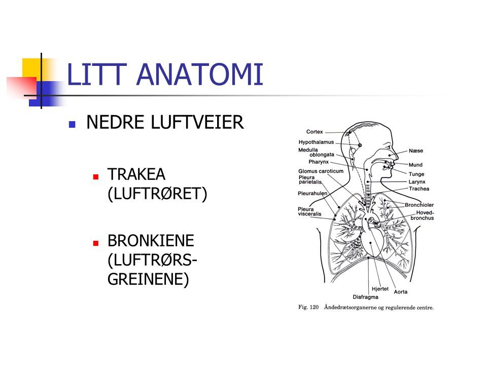 LITT ANATOMI NEDRE LUFTVEIER TRAKEA (LUFTRØRET)