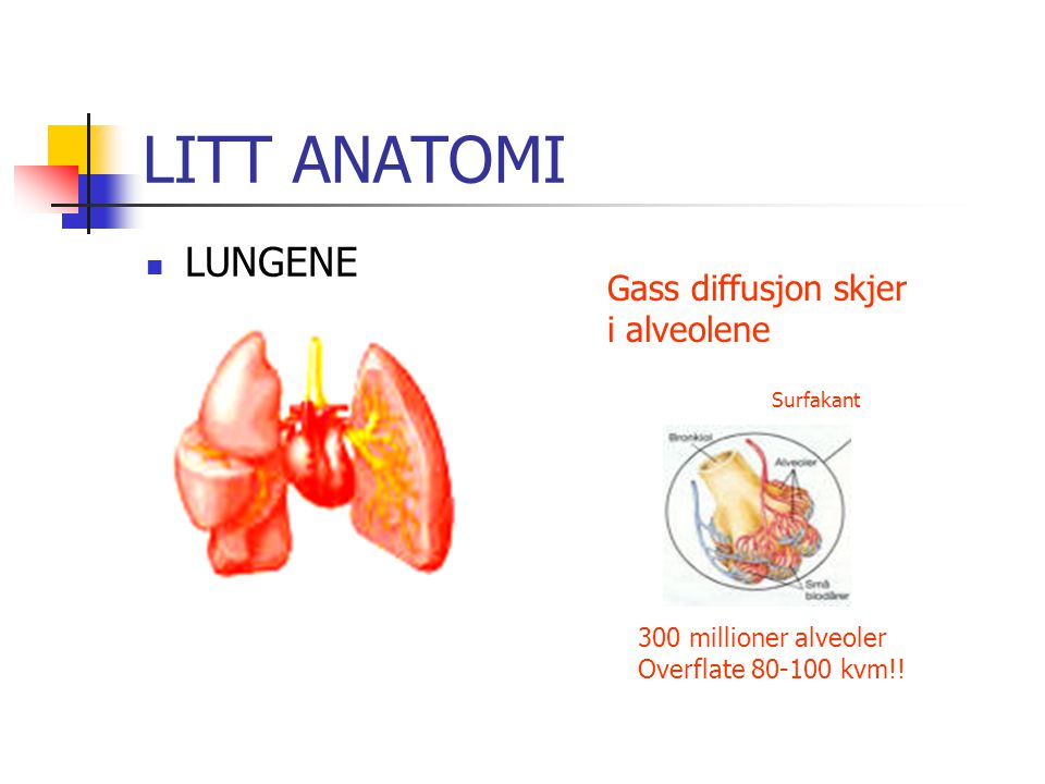 LITT ANATOMI LUNGENE Gass diffusjon skjer i alveolene