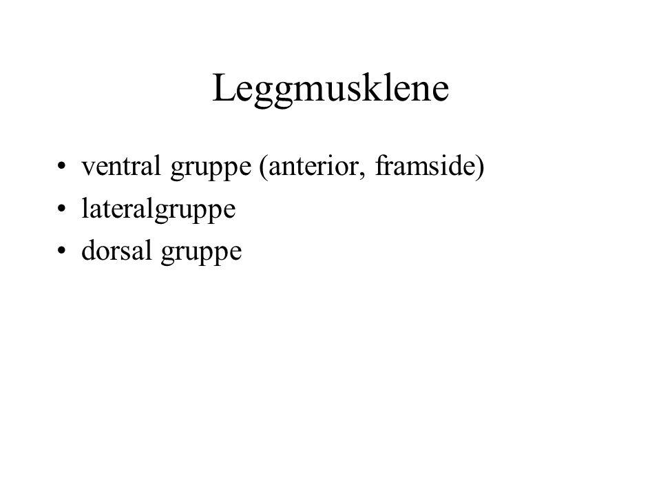 Leggmusklene ventral gruppe (anterior, framside) lateralgruppe