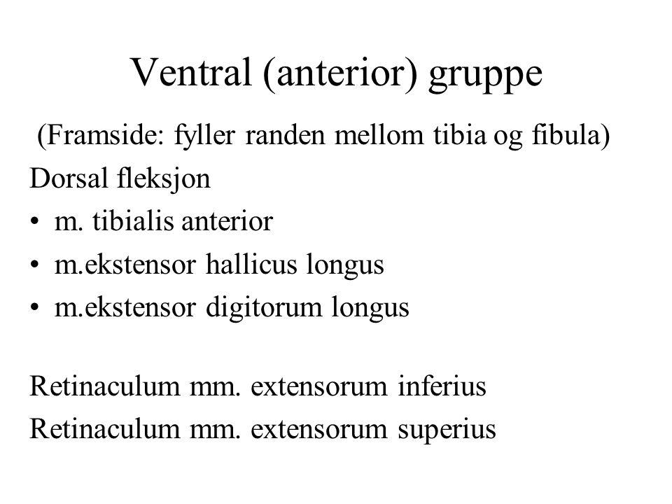 Ventral (anterior) gruppe