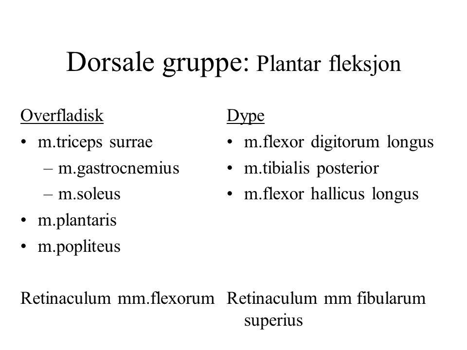 Dorsale gruppe: Plantar fleksjon