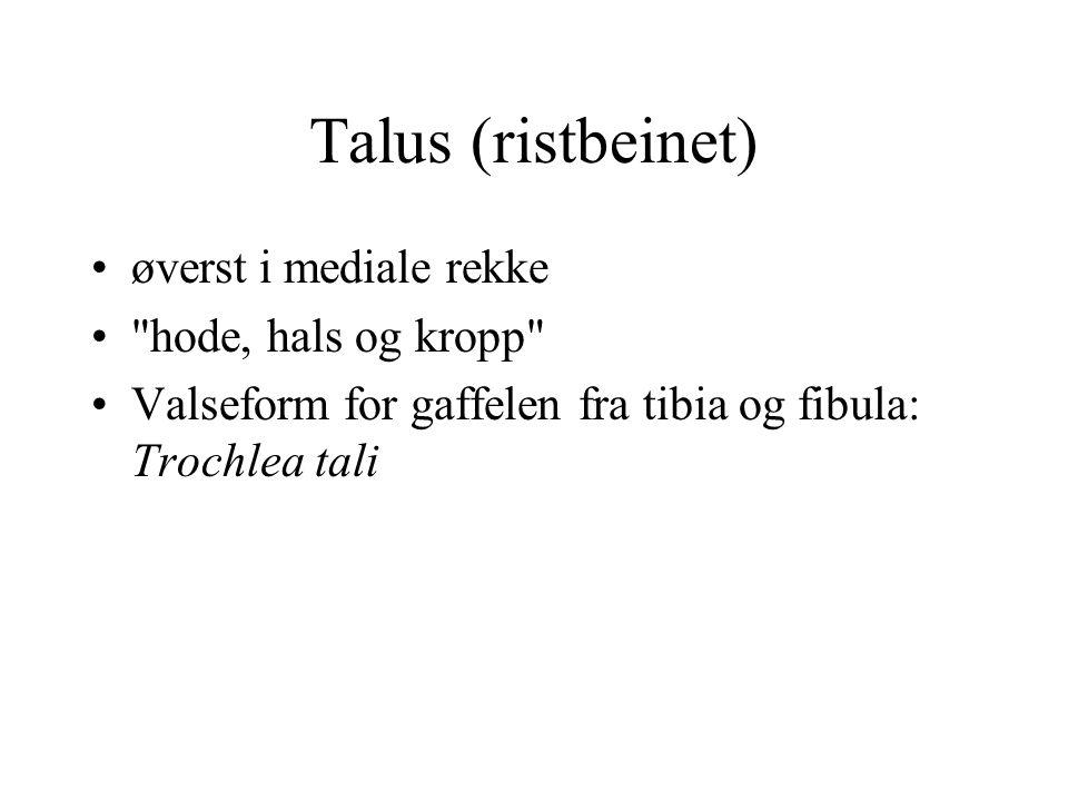 Talus (ristbeinet) øverst i mediale rekke hode, hals og kropp