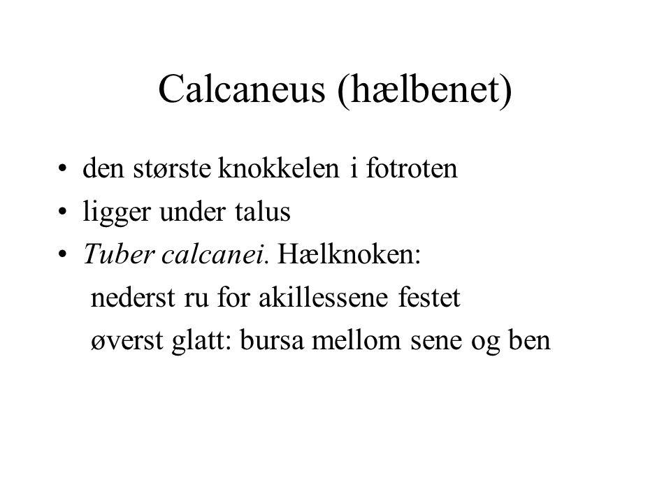 Calcaneus (hælbenet) den største knokkelen i fotroten