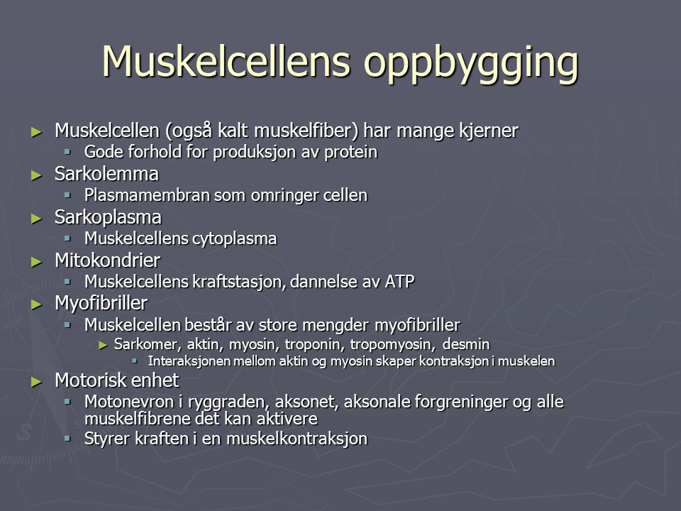 Muskelcellens oppbygging