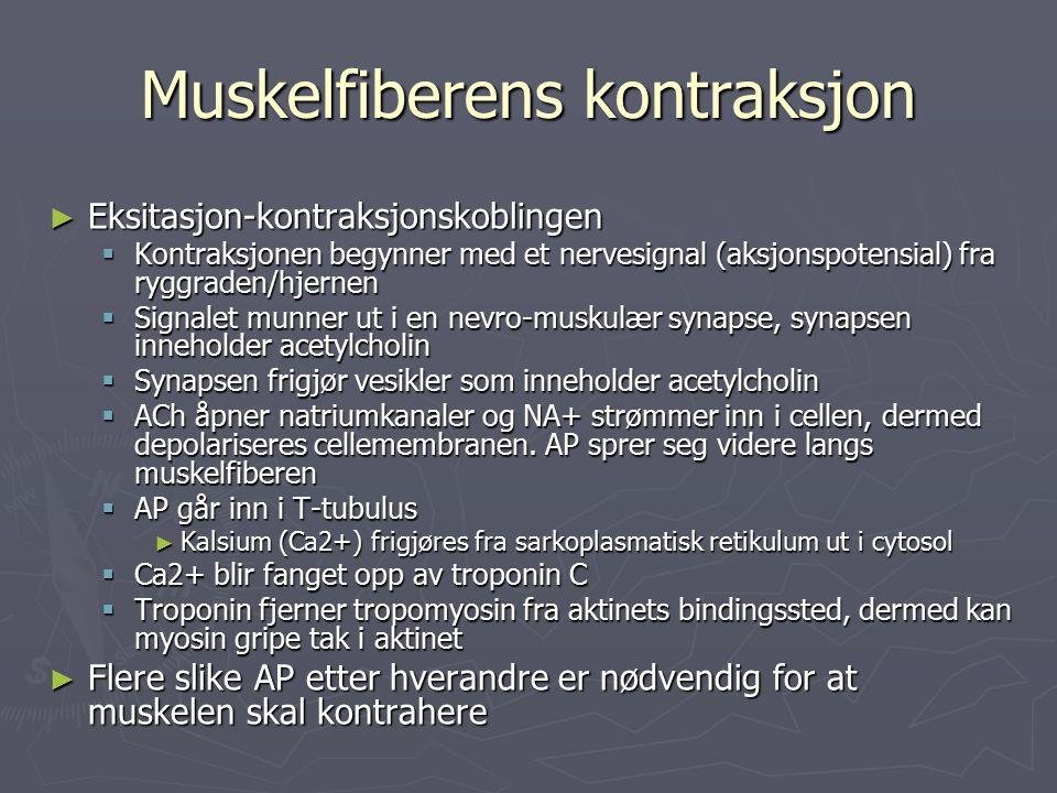 Muskelfiberens kontraksjon