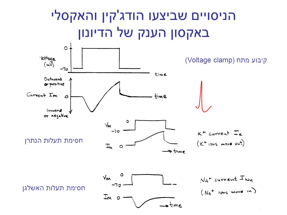 הניסויים שביצעו הודג קין והאקסלי באקסון הענק של הדיונון