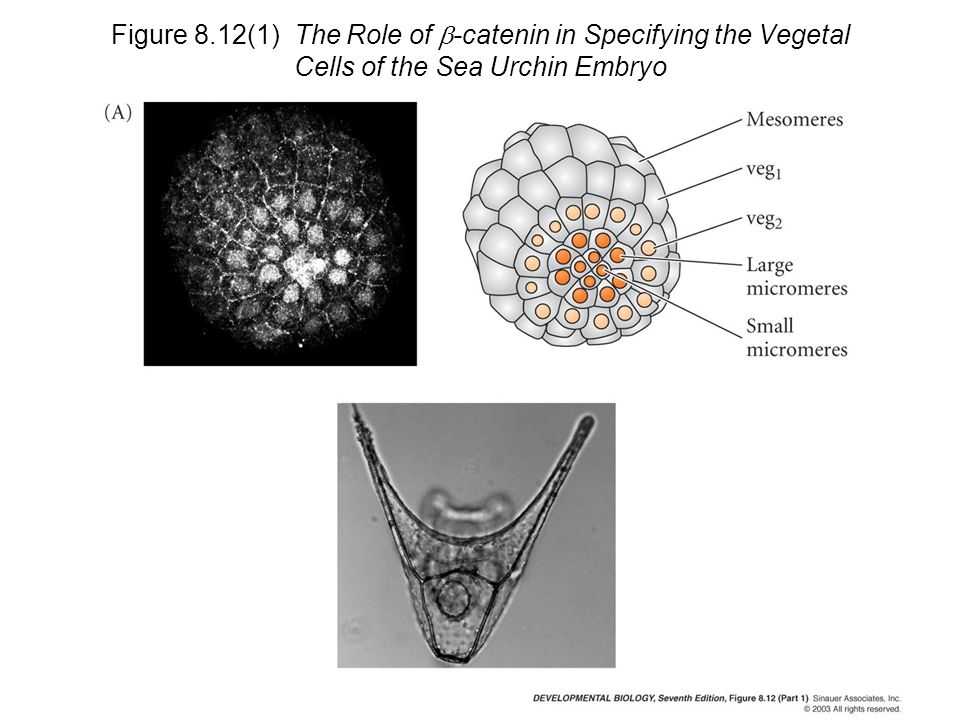 Figure 8.12(1) The Role of b-catenin in Specifying the Vegetal Cells of the Sea Urchin Embryo