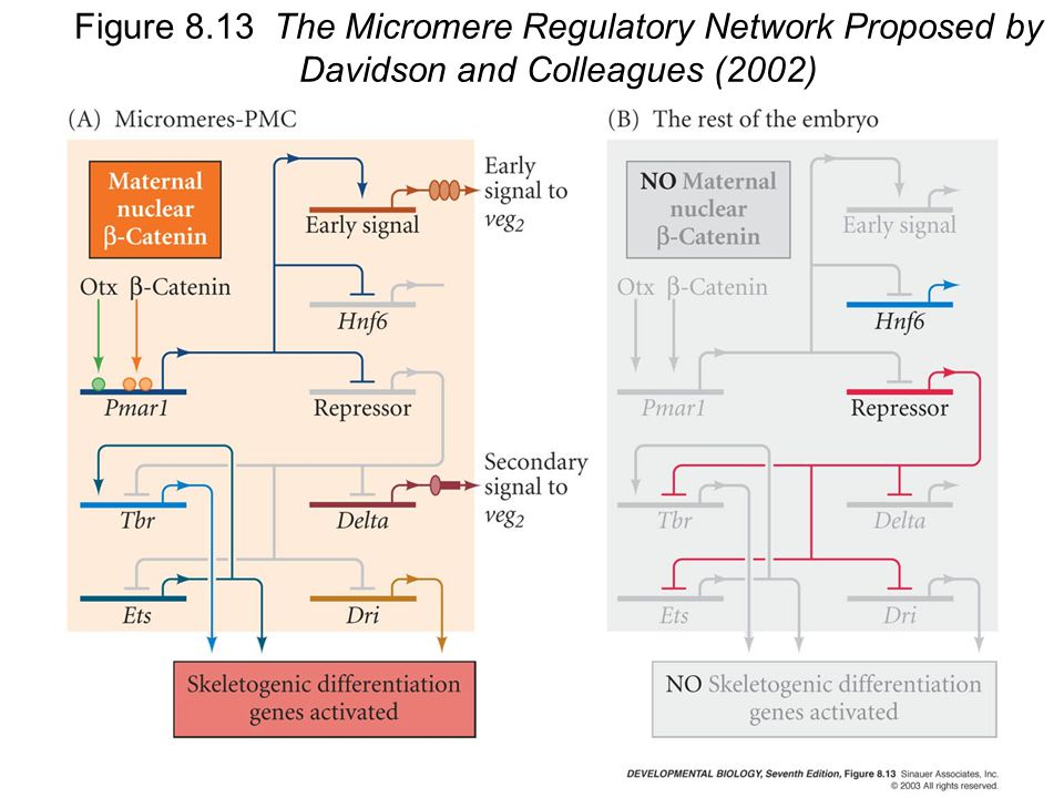 Figure 8.13 The Micromere Regulatory Network Proposed by Davidson and Colleagues (2002)