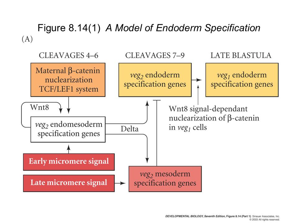 Figure 8.14(1) A Model of Endoderm Specification