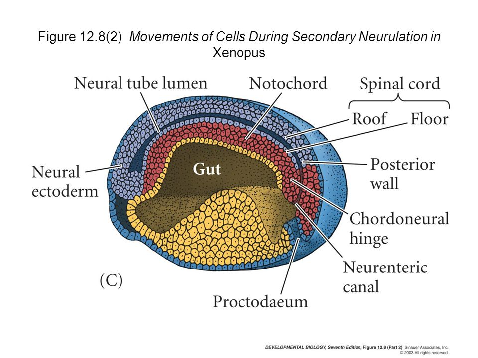 Figure 12.8(2) Movements of Cells During Secondary Neurulation in Xenopus