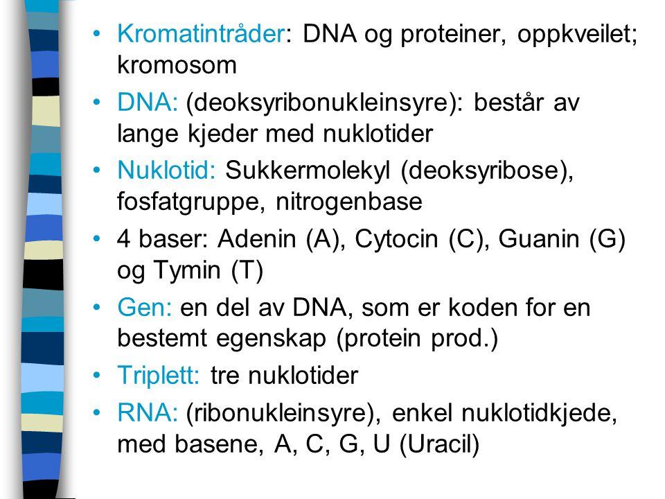 Kromatintråder: DNA og proteiner, oppkveilet; kromosom