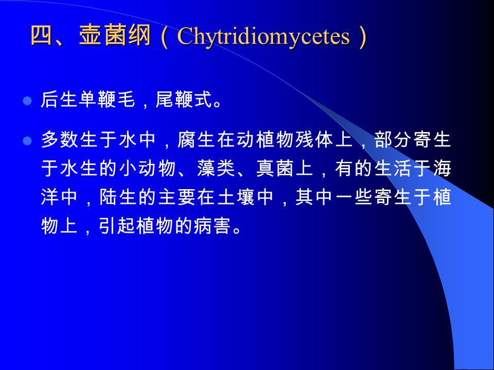 四、壶菌纲(Chytridiomycetes)