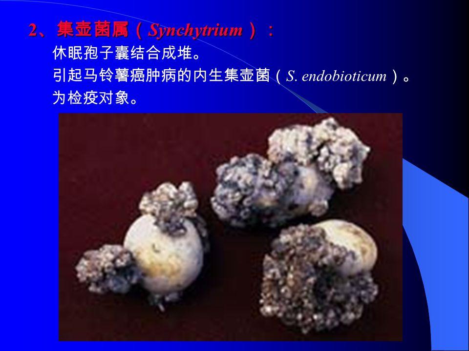 2、集壶菌属(Synchytrium): 休眠孢子囊结合成堆。 引起马铃薯癌肿病的内生集壶菌(S. endobioticum)。