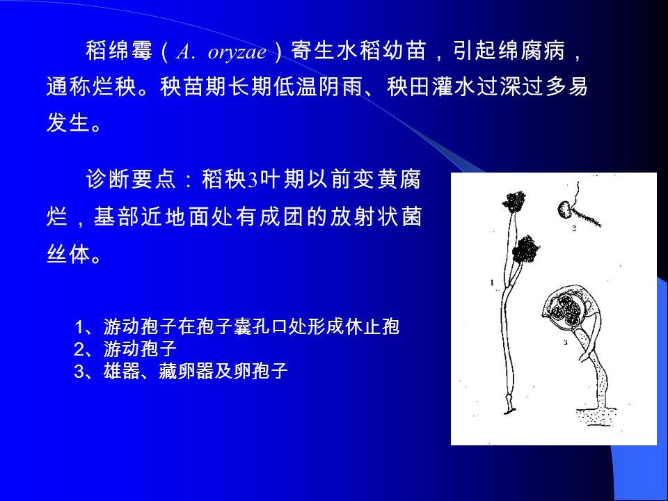 稻绵霉(A. oryzae)寄生水稻幼苗,引起绵腐病,通称烂秧。秧苗期长期低温阴雨、秧田灌水过深过多易发生。