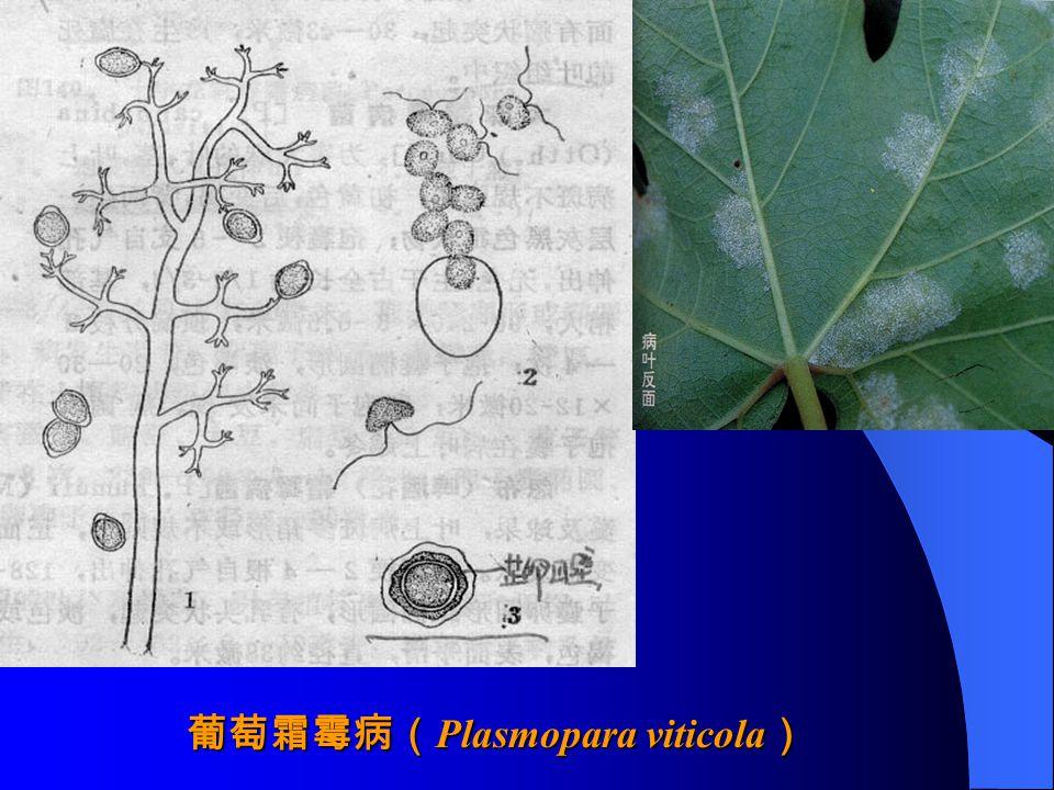葡萄霜霉病(Plasmopara viticola)