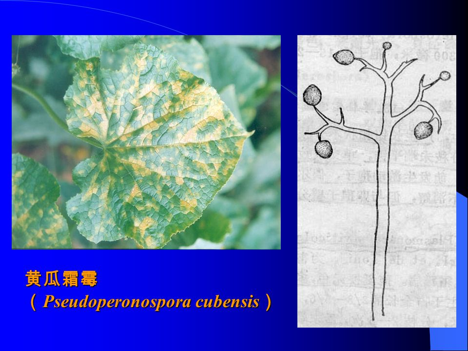 黄瓜霜霉 (Pseudoperonospora cubensis)