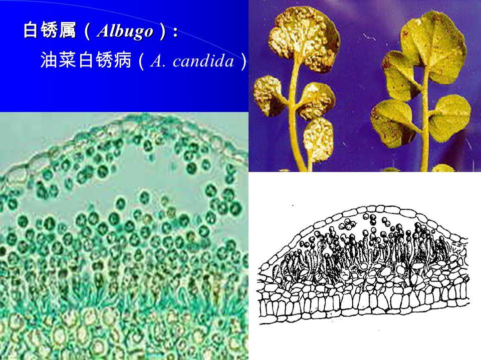 白锈属(Albugo): 油菜白锈病(A. candida)