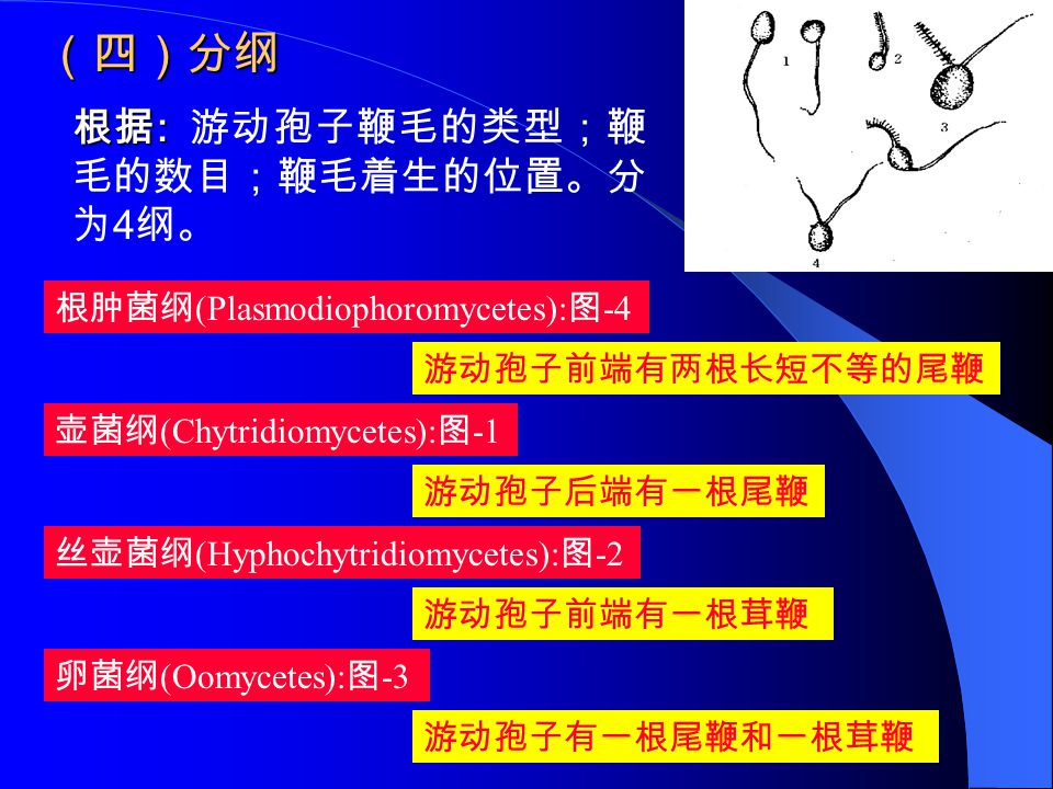 (四)分纲 根据: 游动孢子鞭毛的类型;鞭毛的数目;鞭毛着生的位置。分为4纲。