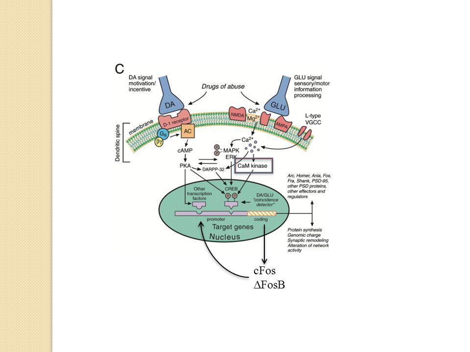 cFos ΔFosB Ikke bare dopamin, men en balanse mellom Da og Glu