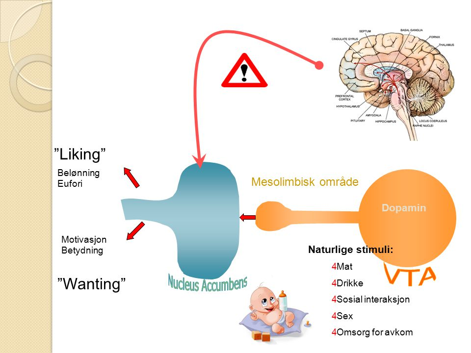 Liking Wanting VTA PREFRONTAL CORTEX Mesolimbisk område Dopamin