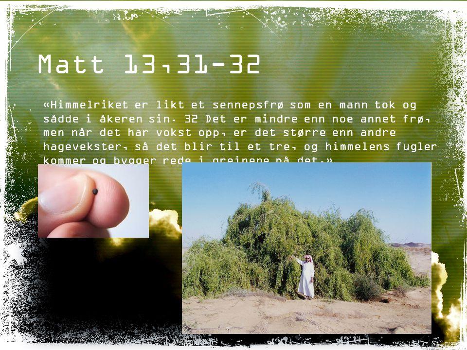Matt 13,31-32