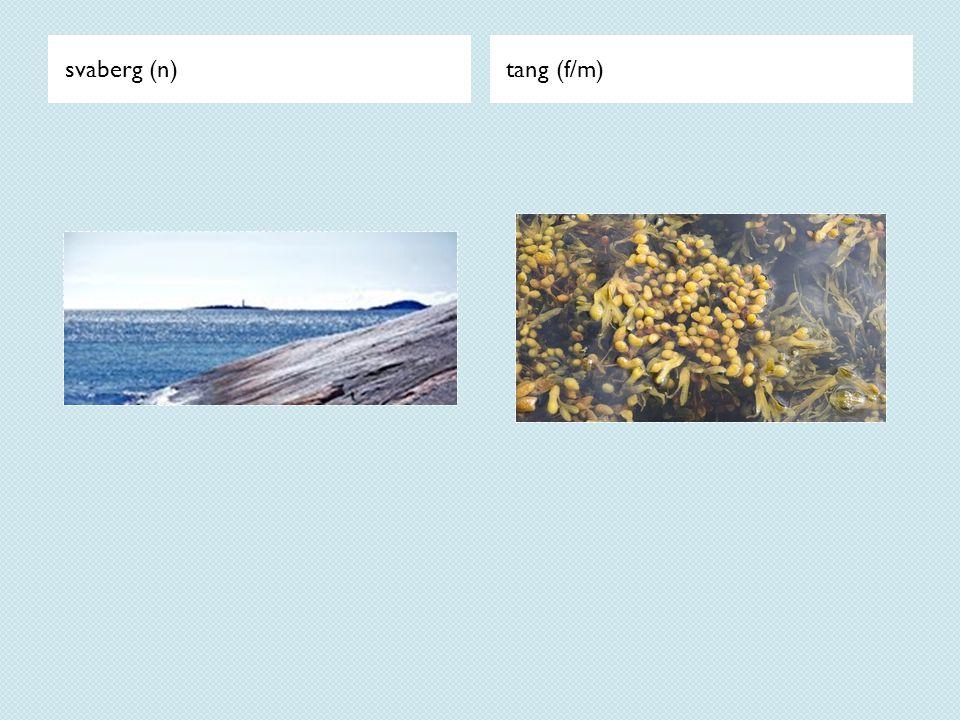 svaberg (n) tang (f/m)