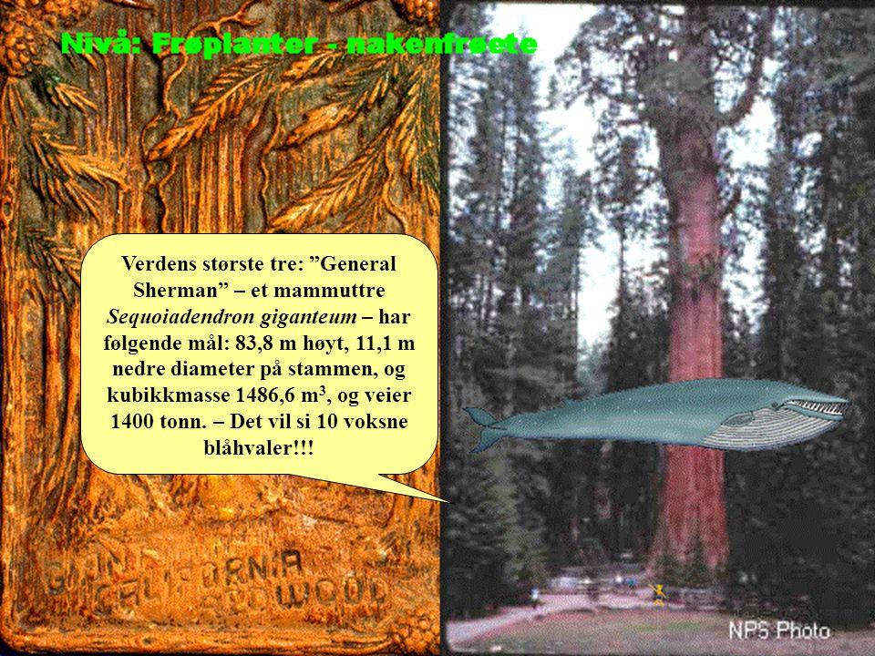 Verdens største tre: General Sherman – et mammuttre Sequoiadendron giganteum – har følgende mål: 83,8 m høyt, 11,1 m nedre diameter på stammen, og kubikkmasse 1486,6 m3, og veier 1400 tonn.