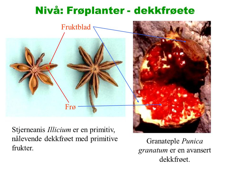 Nivå: Frøplanter - dekkfrøete