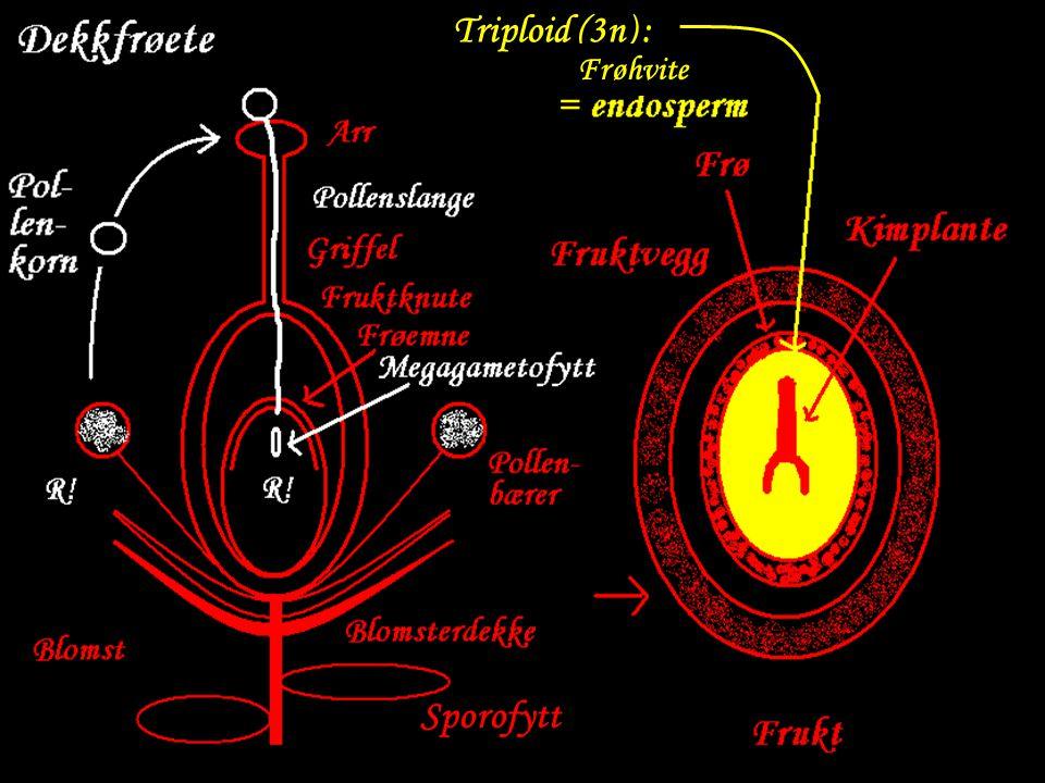 Triploid (3n) : Frøhvite Sporofytt