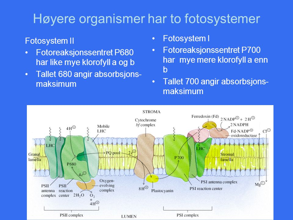 Høyere organismer har to fotosystemer
