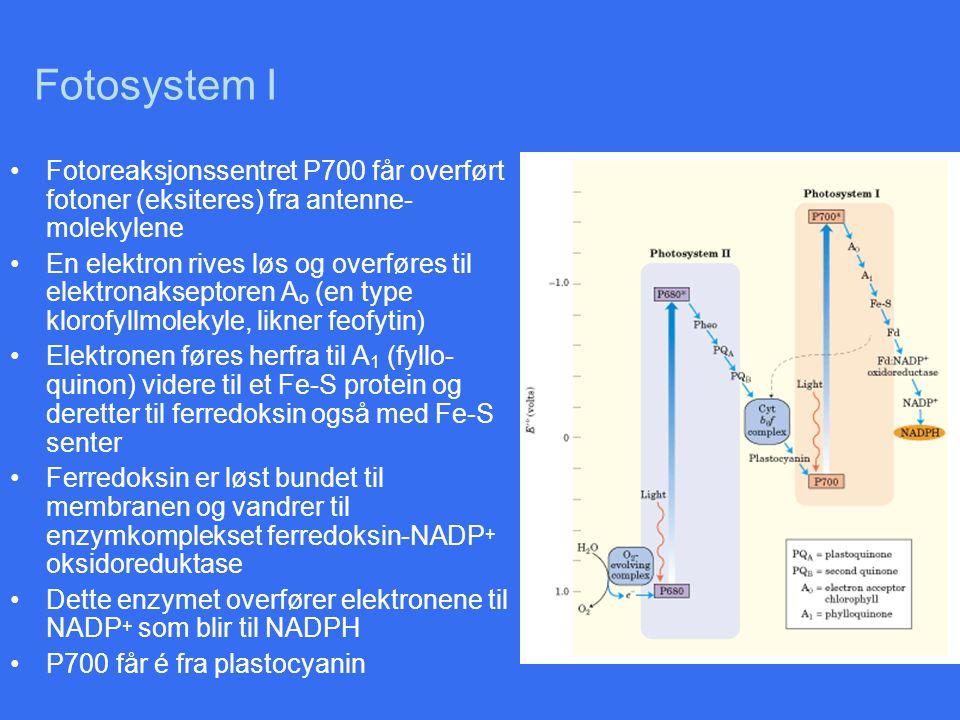Fotosystem I Fotoreaksjonssentret P700 får overført fotoner (eksiteres) fra antenne-molekylene.
