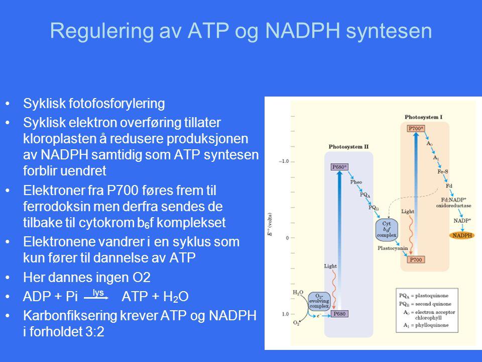 Regulering av ATP og NADPH syntesen