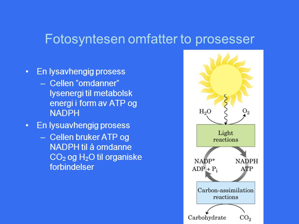 Fotosyntesen omfatter to prosesser
