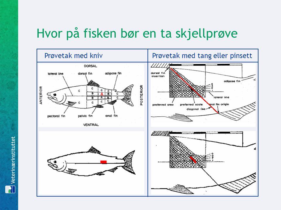 Hvor på fisken bør en ta skjellprøve