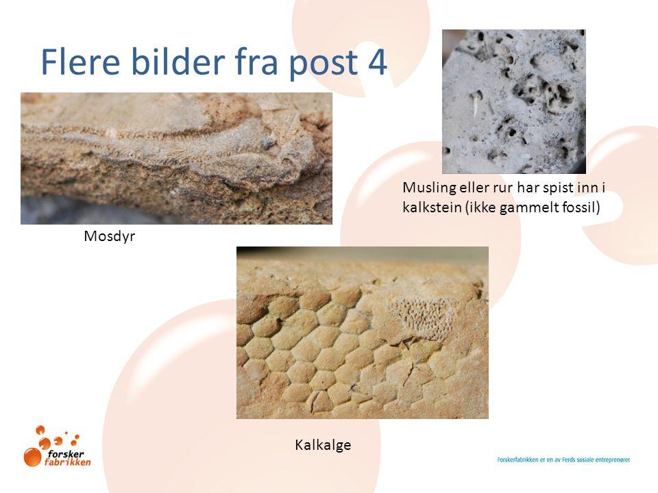 Flere bilder fra post 4 Musling eller rur har spist inn i kalkstein (ikke gammelt fossil) Mosdyr.