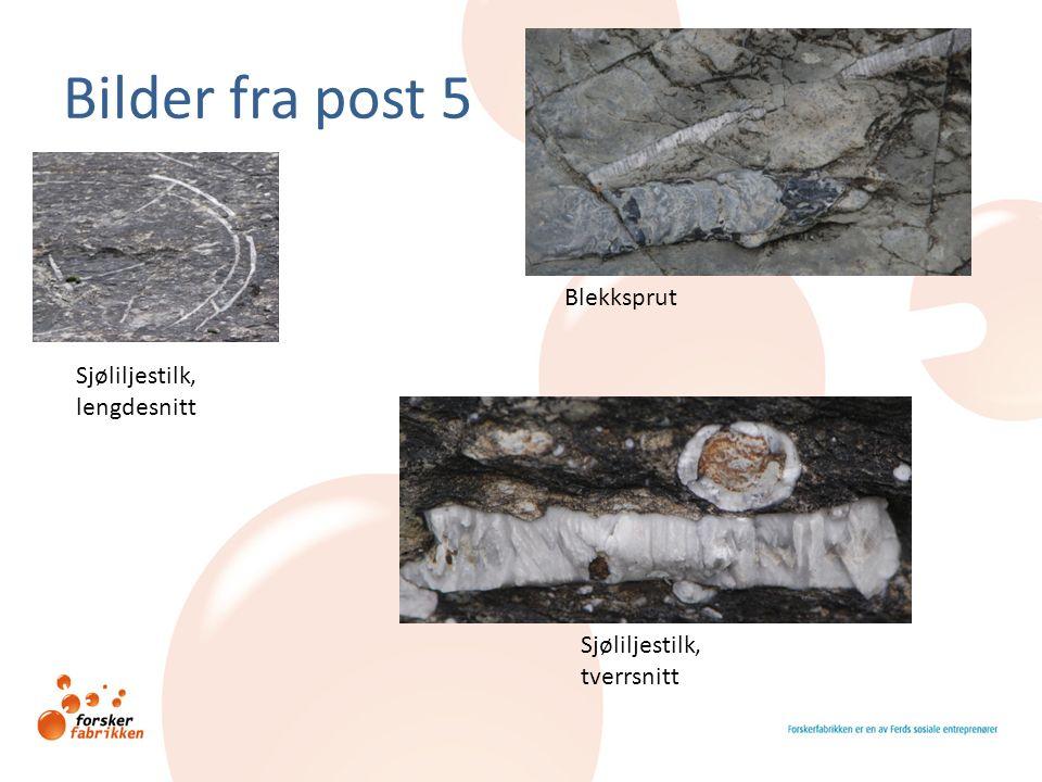 Bilder fra post 5 Blekksprut Sjøliljestilk, lengdesnitt