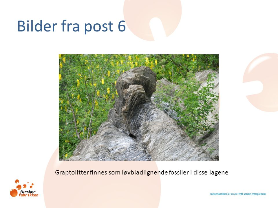 Bilder fra post 6 Graptolitter finnes som løvbladlignende fossiler i disse lagene