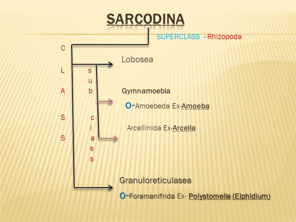 SARCODINA SUPERCLASS –Rhizopoda C Lobosea L s u A b Gymnamoebia