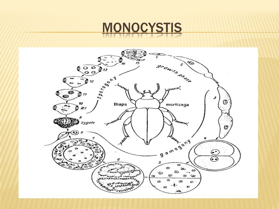 monocystis
