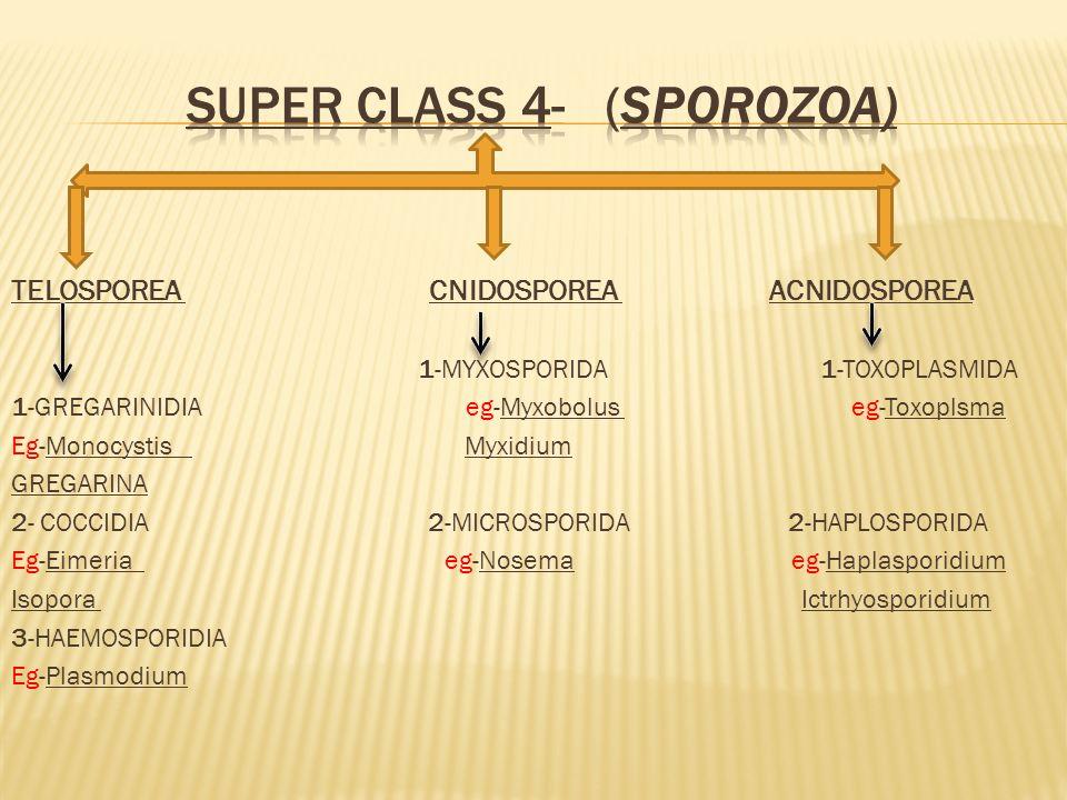 SUPER CLASS 4- (SPOROZOA)