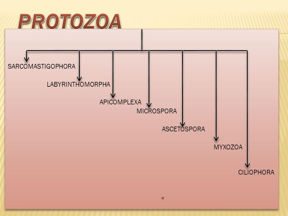 Protozoa SARCOMASTIGOPHORA LABYRINTHOMORPHA APICOMPLEXA MICROSPORA ASCETOSPORA MYXOZOA CILIOPHORA *
