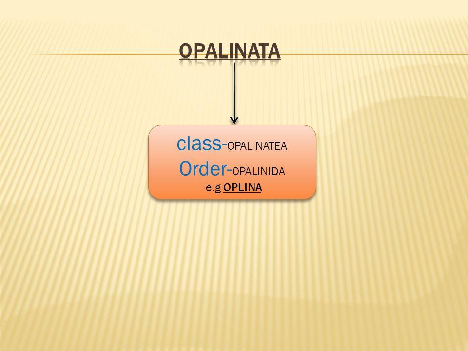 OPALINATA class-OPALINATEA Order-OPALINIDA e.g OPLINA