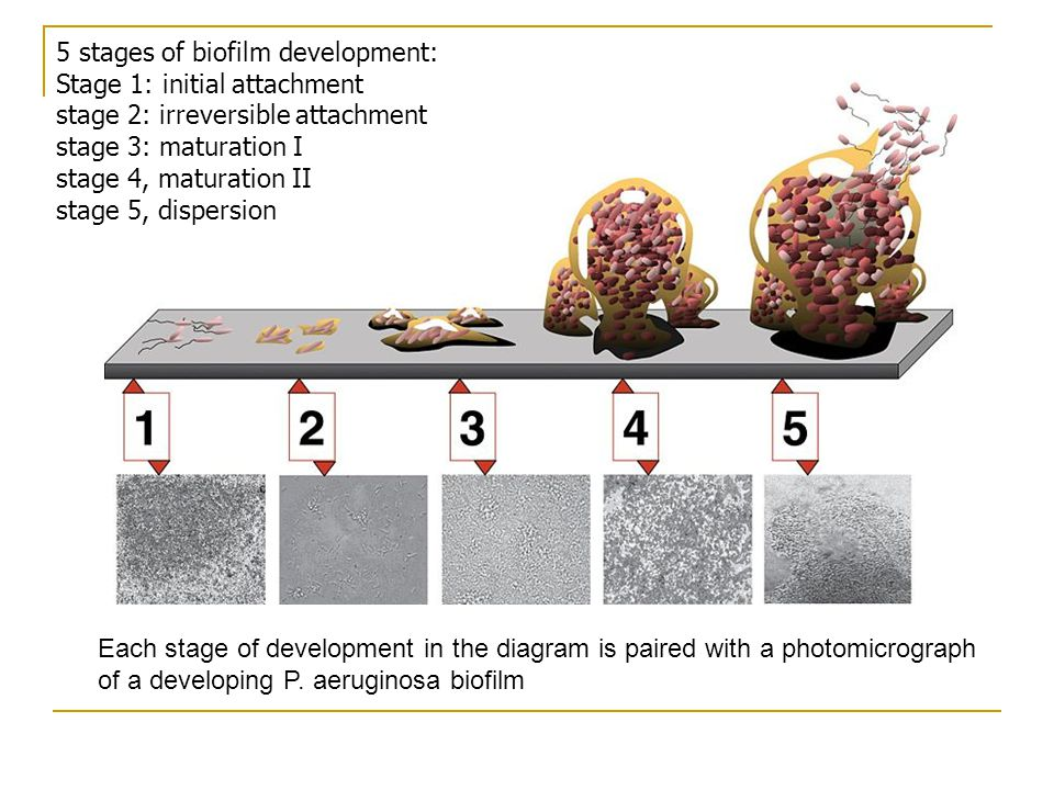 5 stages of biofilm development: