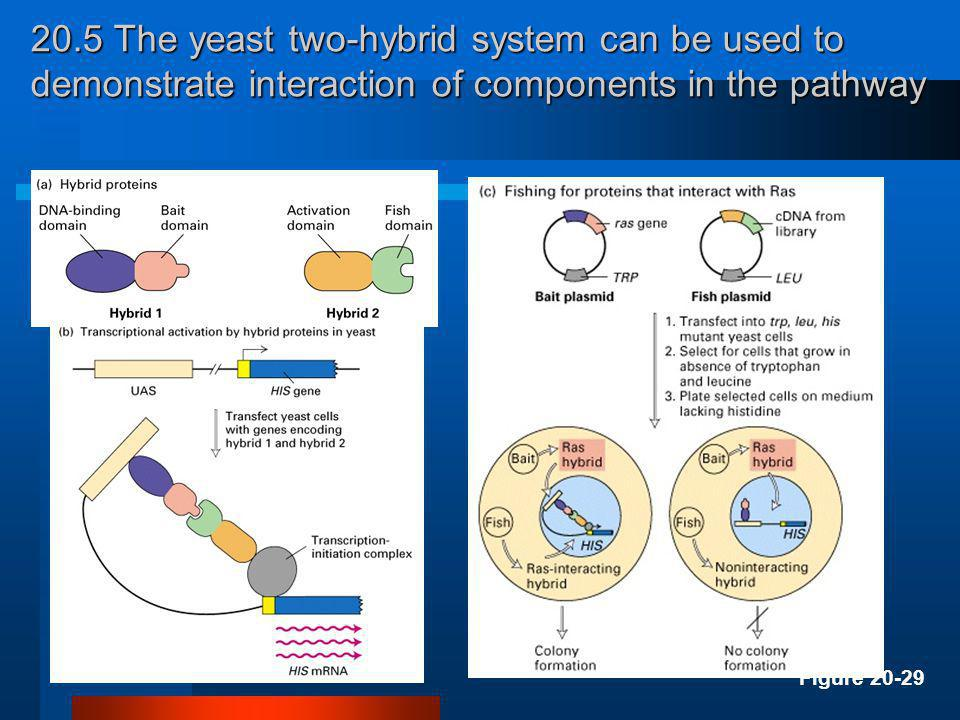 20.5 The yeast two-hybrid system can be used to demonstrate interaction of components in the pathway