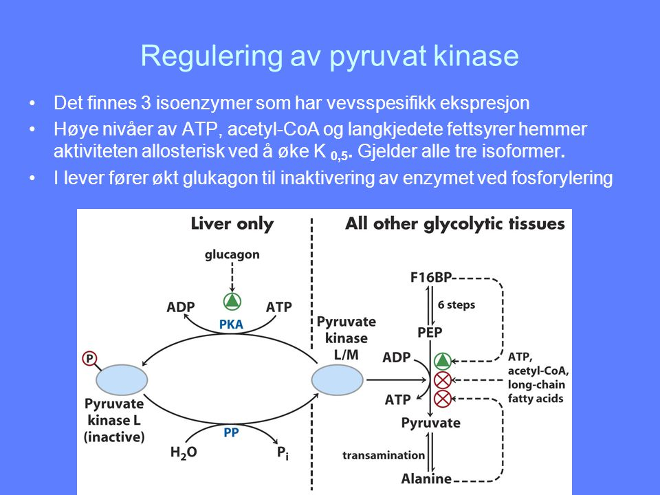 Regulering av pyruvat kinase